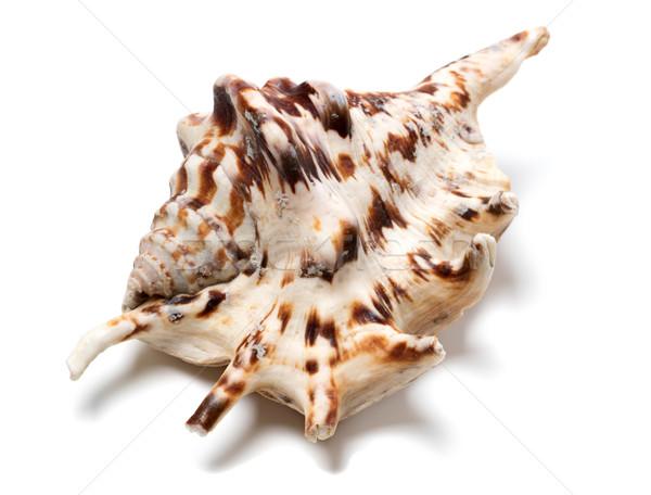 Lambis tiger shell on white Stock photo © BSANI