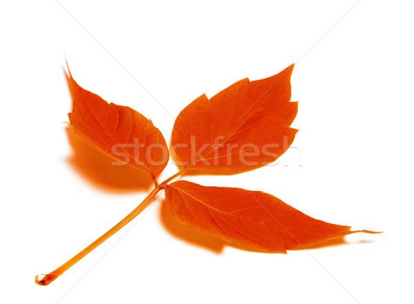 Piros ősz levél izolált fehér szelektív fókusz Stock fotó © BSANI