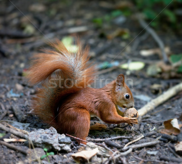 Red squirrel with walnut in autumn forest Stock photo © BSANI
