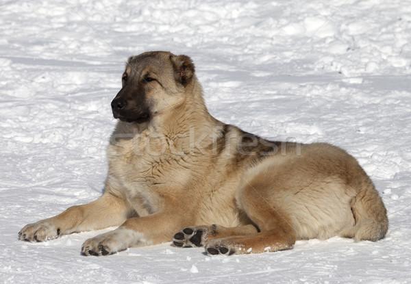 Dog resting in snowy ski slope Stock photo © BSANI