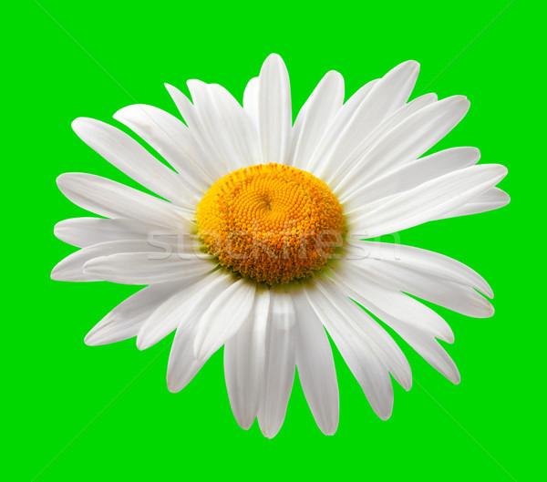 Chamomile isolated on green background Stock photo © BSANI