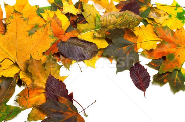 осень высушите клен листьев природы Сток-фото © BSANI