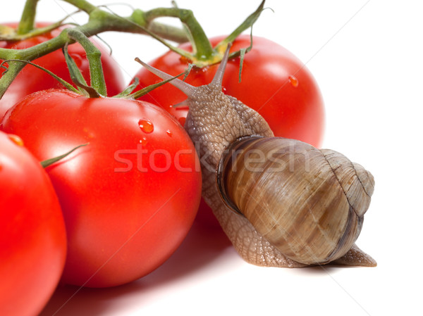 Garden snail and ripe tomato with water drop Stock photo © BSANI