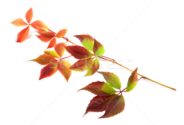 Multicolor autumn twig of grapes leaves  Stock photo © BSANI