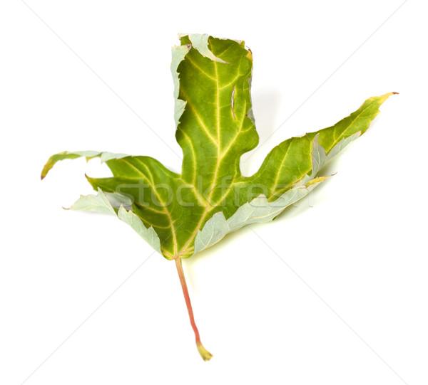 Maple Leaf изолированный белый избирательный подход дерево лес Сток-фото © BSANI