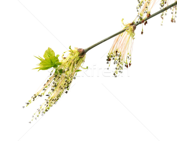 Flowering spring twigs of maple tree with young leaves in wind Stock photo © BSANI