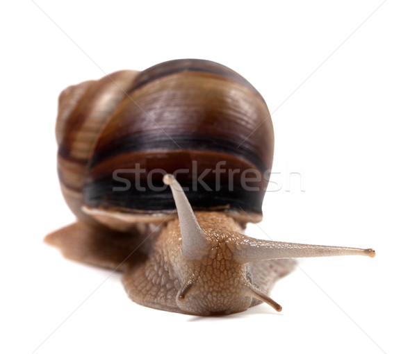 Snail. Front view.  Stock photo © BSANI