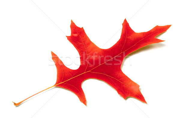 Red leaf of oak Stock photo © BSANI