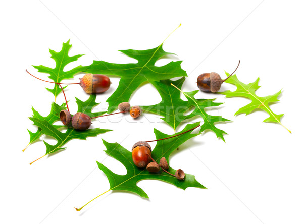 Acorns and green leafs of oak (Quercus palustris) Stock photo © BSANI
