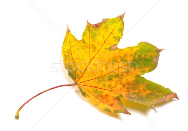 Dry yellowed autumn maple-leaf Stock photo © BSANI