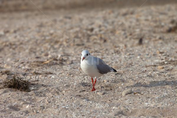 Gaivota caminhada areia sol dia natureza Foto stock © BSANI