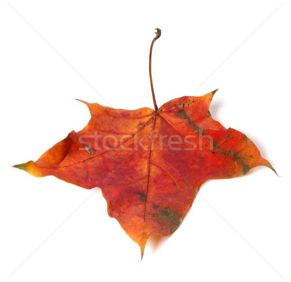 красный осень Maple Leaf изолированный белый лес Сток-фото © BSANI