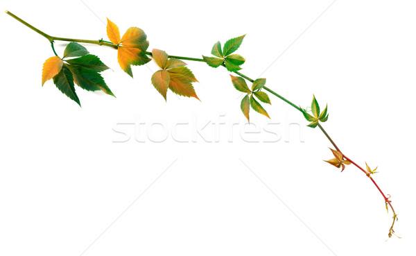 小枝 ブドウ 葉 孤立した 白 ストックフォト © BSANI
