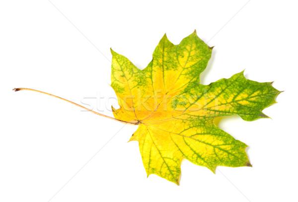 Yellowed multicolor autumn maple-leaf Stock photo © BSANI