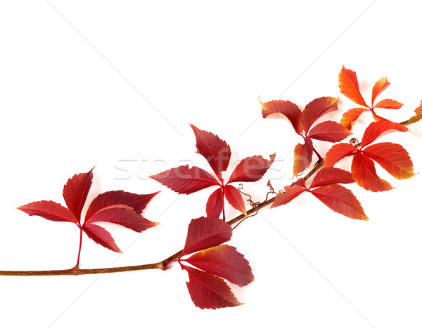 Twig of autumnal red grapes leaves Stock photo © BSANI