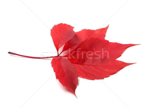 Stock fotó: Piros · ősz · Virginia · búcsú · izolált · fehér