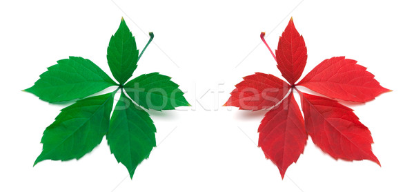 Green and red virginia creeper leaves Stock photo © BSANI