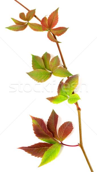 Stok fotoğraf: Sonbahar · dal · üzüm · yaprakları · yeşillik · yalıtılmış