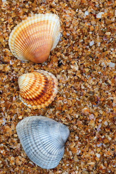 Three seashell on sand in sun day Stock photo © BSANI