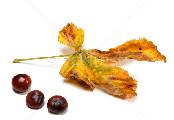 Száraz ősz levél magok gesztenye izolált Stock fotó © BSANI
