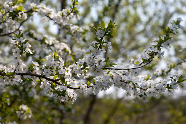 Blossom cherry tree Stock photo © BSANI