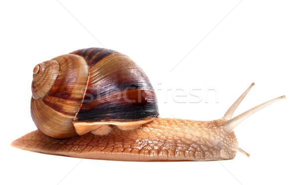 Snail on white background Stock photo © BSANI
