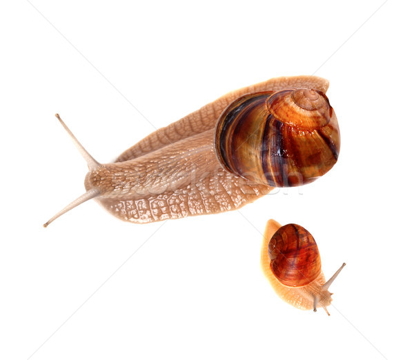 Family of snails isolated on white background Stock photo © BSANI
