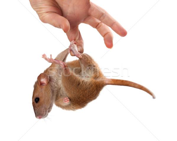 Fancy rat hang on hand Stock photo © BSANI