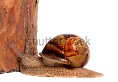 Pine tree and snail Stock photo © BSANI