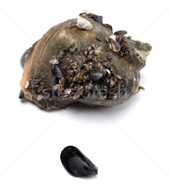 Veined rapa whelk and small mussel from Black Sea Stock photo © BSANI