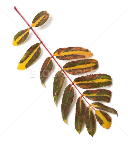 Multicolor leaf of rowan on white background Stock photo © BSANI