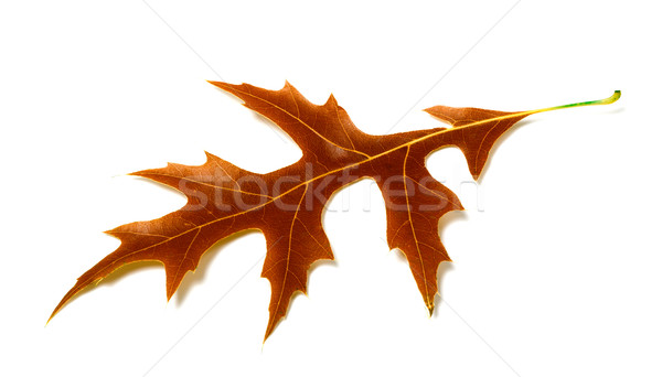 Autumn leaf of oak on white background Stock photo © BSANI