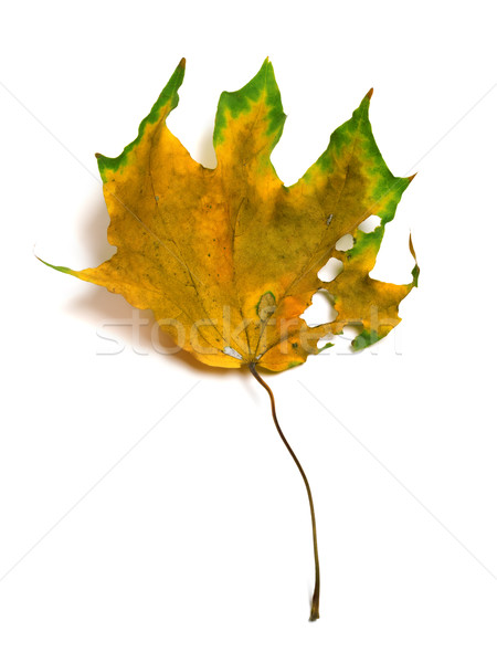 Autumn dry multicolor maple leaf with holes Stock photo © BSANI
