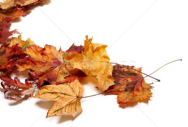 Autumn multicolor maple leafs Stock photo © BSANI