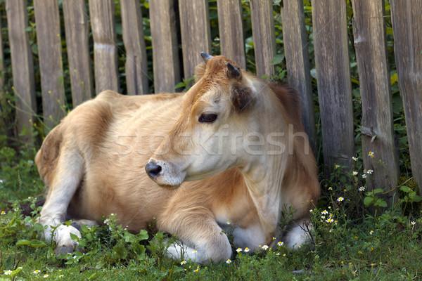 Koe groen gras houten hek Stockfoto © BSANI