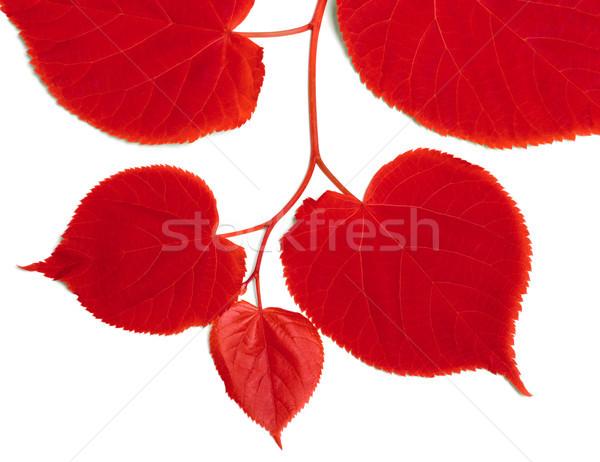 Piros izolált fehér erdő nap levél Stock fotó © BSANI