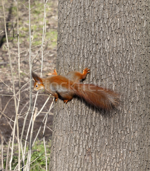 Stock photo: Red squirrels on tree trunk