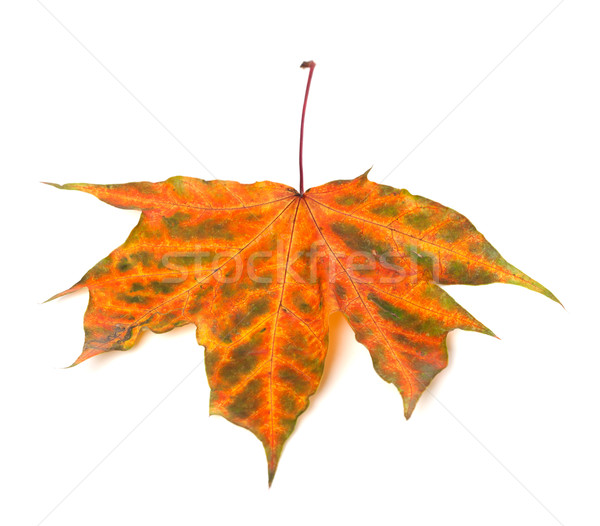 Multicolor autumn maple-leaf Stock photo © BSANI