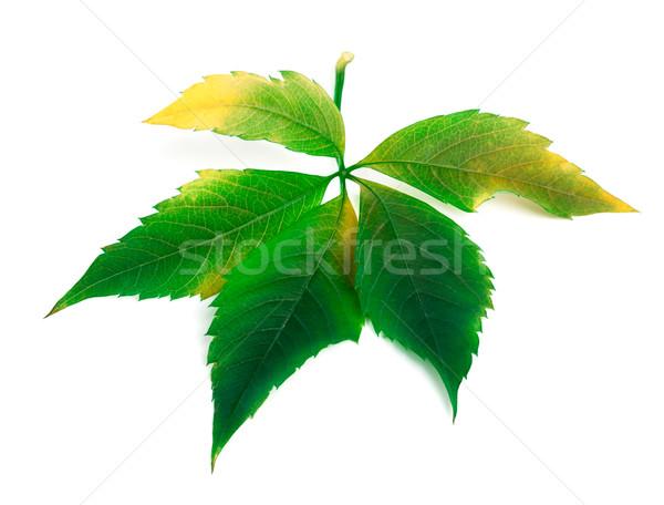 Виргиния лист листва изолированный белый весны Сток-фото © BSANI