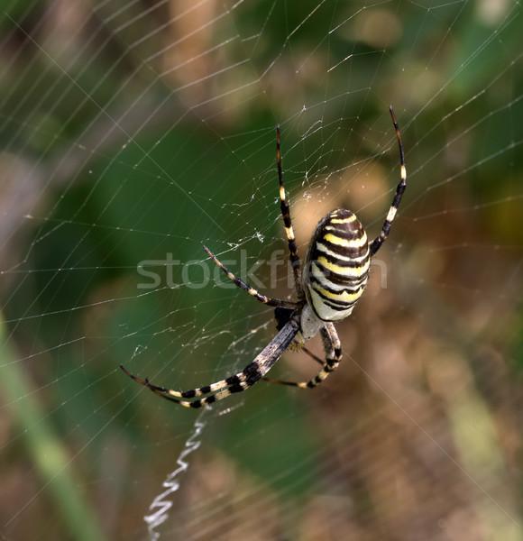 Spider on spiderweb in summer Stock photo © BSANI