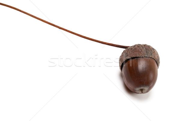 Jesienią żołądź biały widoku drewna Zdjęcia stock © BSANI