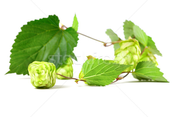 Blossoming hop Stock photo © BSANI