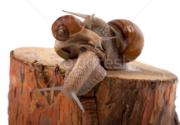 Snails on top of one another, on pine tree stump Stock photo © BSANI