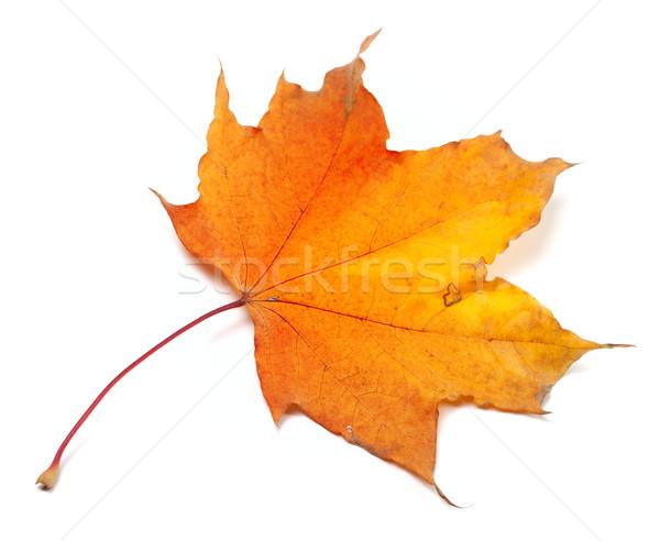 Autumn yellowed maple-leaf Stock photo © BSANI