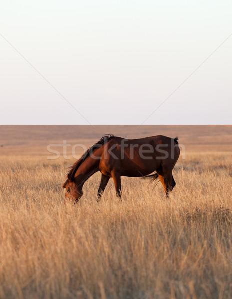 Stock photo: Horse grazing in evening pasture