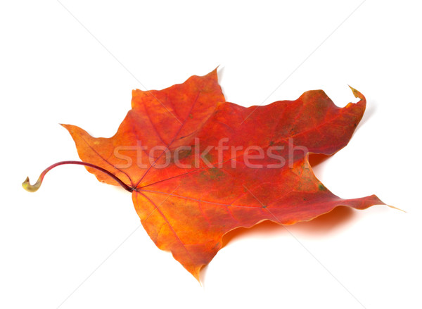 Red autumn maple leaf Stock photo © BSANI