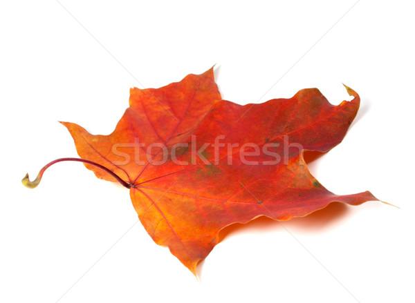 赤 秋 カエデの葉 孤立した 白 ツリー ストックフォト © BSANI