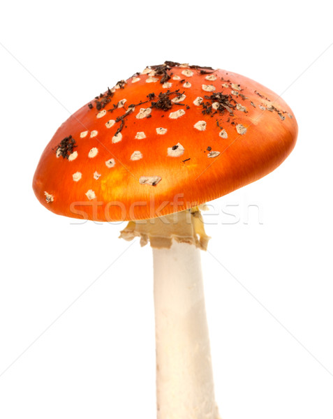 Red fly-agaric mushroom with pieces of dirt Stock photo © BSANI