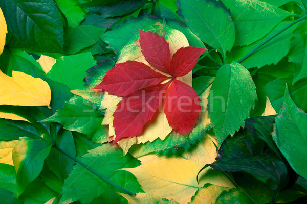 Background of multicolor autumn leaves Stock photo © BSANI