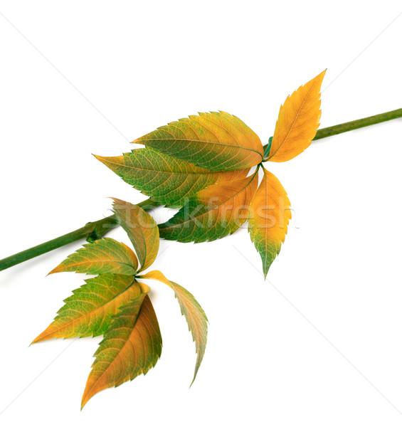 秋 小枝 ブドウ 葉 孤立した ストックフォト © BSANI